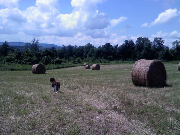Goose with Fresh Bales of Berkshire Hay