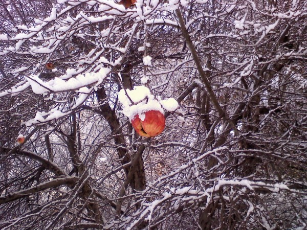 Apples in snow.